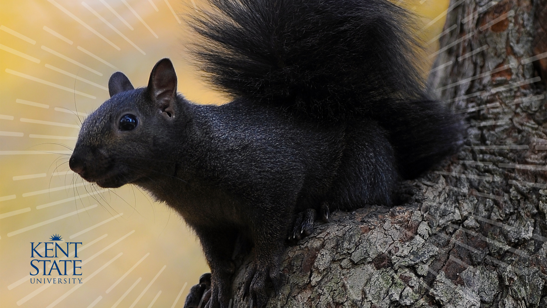 black squirrels